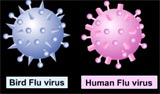 Human and bird flu viruses can combine to create a new deadlier virus